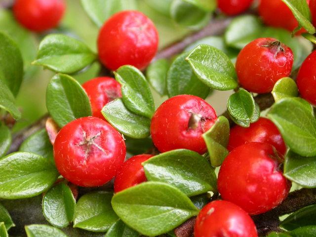 Можно сказать, что боярышник - это кладезь витаминов; именно благодаря его полезному составу его используют для приготовления фитопрепаратов