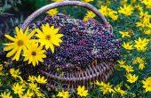 Бузина черная — полезные свойства и противопоказания, народные рецепты