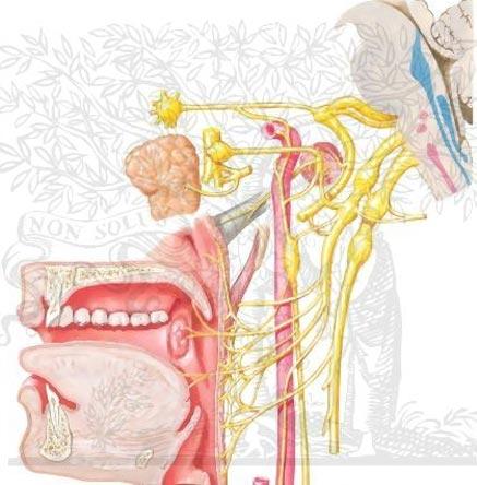 Невралгия языкоглоточного нерва фото