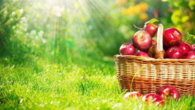 Одним из самых доступных и известных фруктов в России является яблоко. Яблочные деревья украшают тысячи дачных участков и садов