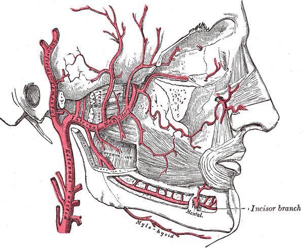 Расположение челюстной артерии