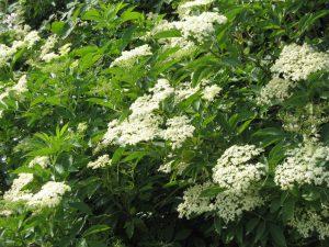Если вы решили заготовить на зиму цветы бузины, тогда учтите, что собирать их следует из деревьев, которые находятся вдали от дороги, желательно в сельской местности