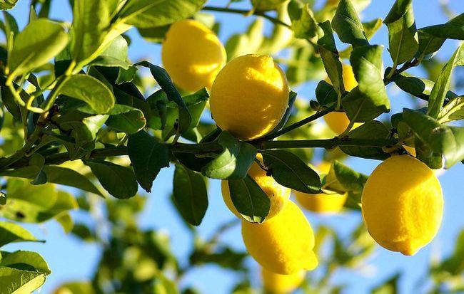 Лимон богат органическими кислотами, пектинами, витаминами, флавоноидами и эфирными маслами