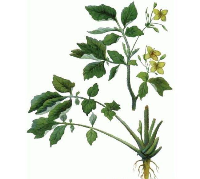 Все части растения обладают целебными свойствами