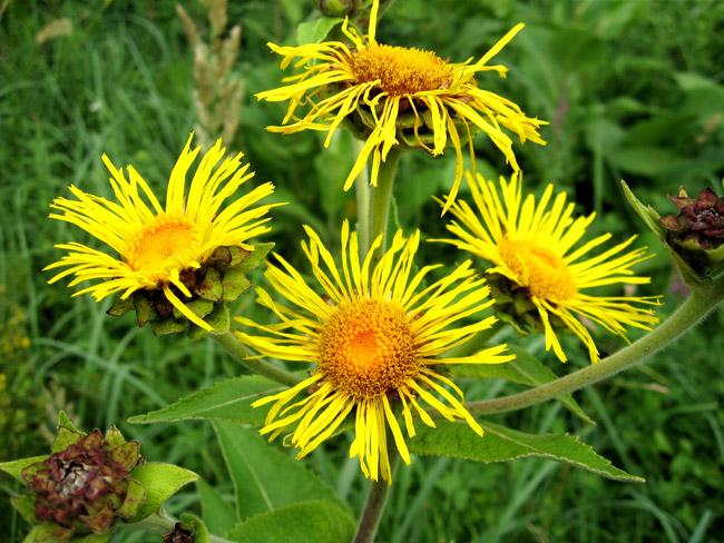 Девясил, или Жёлтый цвет - применяется практически при всех патологиях