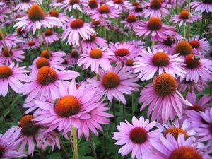 Лекарственный препарат изготовляют из корней пурпурной эхинацеи