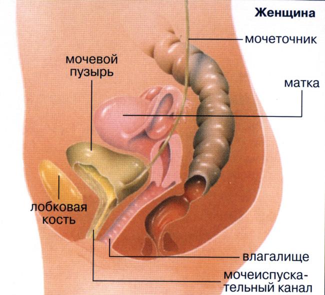 Анатомическое строение женщины предполагает постоянный занос микрофлоры из прямой кишки и влагалища в мочеиспускательный канал