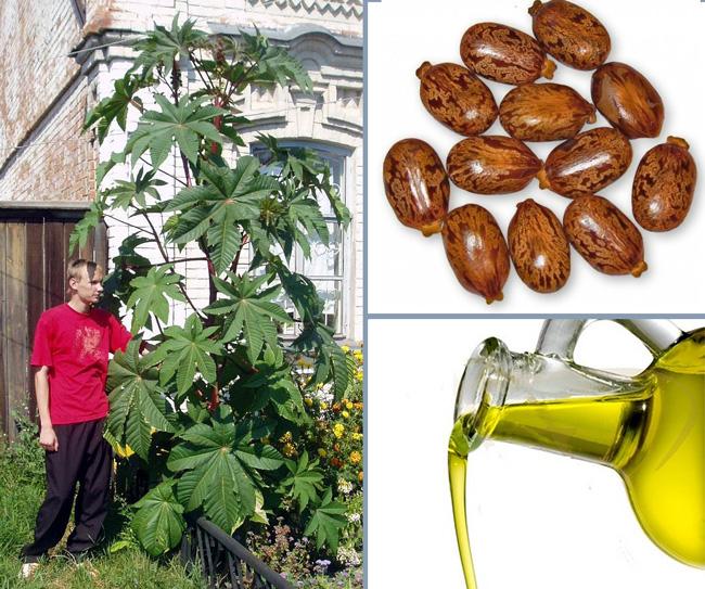 Касторовое масло получают путем холодного отжима семян клещевины обыкновенной