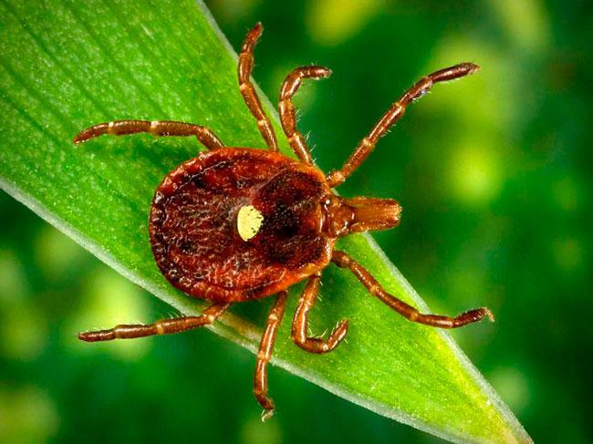 Из-за специального вещества-анестетика, которое паразит впрыскивает в кожу, человек не сразу ощущает укус, а лишь спустя 20 минут