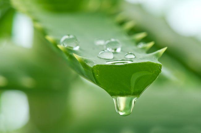 Сок алоэ полезен при множестве заболеваний, в том числе и гайморите