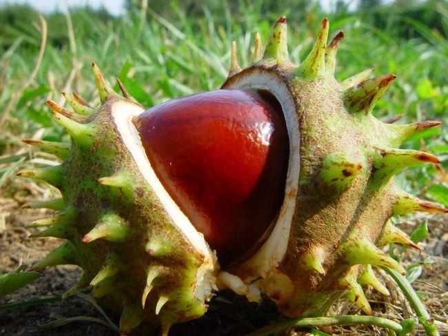 Орехи каштанов снимают воспаление и способствуют выводу содержимого из носовых пазух