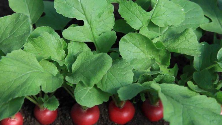Салат овощной с ботвой редиса