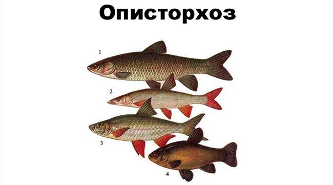 Наибольшая вероятность заражения описторхозом грозит в случае употребления рыбы из семейства карповых, таких как лещ, линь, язь, чебак