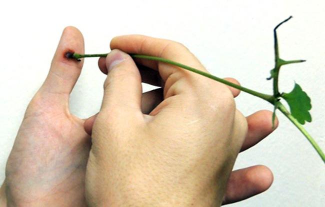 Сок чистотела - эффективное средство при лечении папиллом в домашних условиях