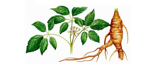 Для лечения используют корни и листья растений, они содержат более 20 биологически полезных веществ