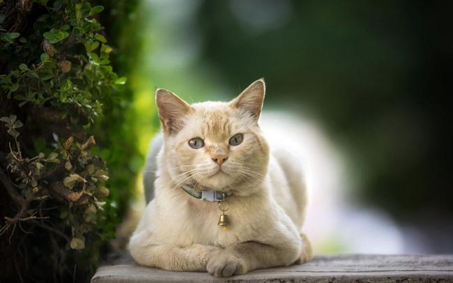 При мочекаменной болезни у кошек, ветеринары могут назначать уколы Папаверина, для ослабления болевого синдрома