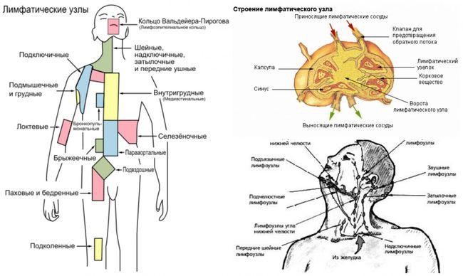 Лимфатические узлы и их строение