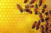 Забрус – целебный продукт пчеловодства. Как лечиться — рецепты и правила хранения