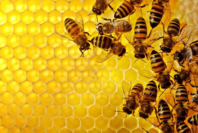 Забрус – это крышечки, которыми пчелы запечатывают соты