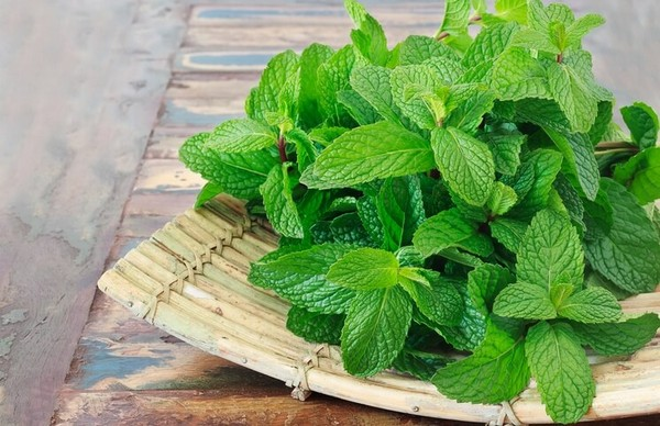 Мята перечная благодаря своим свойствам широко используется в народной медицине, фармацевтике, кулинарии