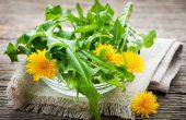 Одуванчик (корень, листья и цветы) – полезные свойства и противопоказания, народные рецепты