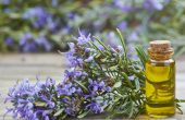 Розмарин – лечебные свойства и противопоказания