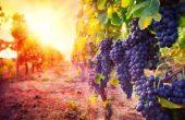 Чем полезен виноград для человека – влияние ягод на организм и здоровье. Лечение виноградом