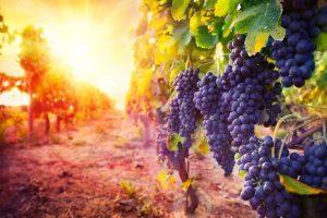 Виноград - мощное природное лекарство от множества заболеваний и натуральный источник витаминов