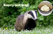 badger fat – useful properties and contraindications, used in folk medicine