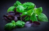 Basil - properties, benefit and harm, contraindications, folk recipes