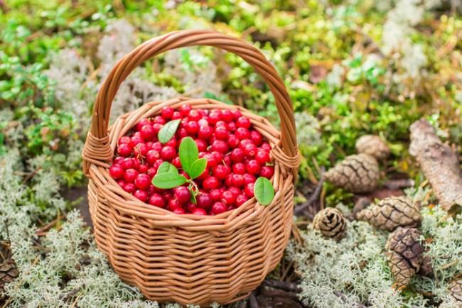 Брусника - гипоаллергенная ягода, очень полезна для детского организма, ее можно давать детям после года