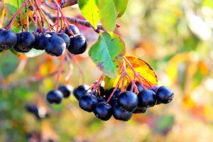 Черноплодная рябина - одна из самых полезных плодовых культур, очень богата на витамины, обладает множеством целебных свойств