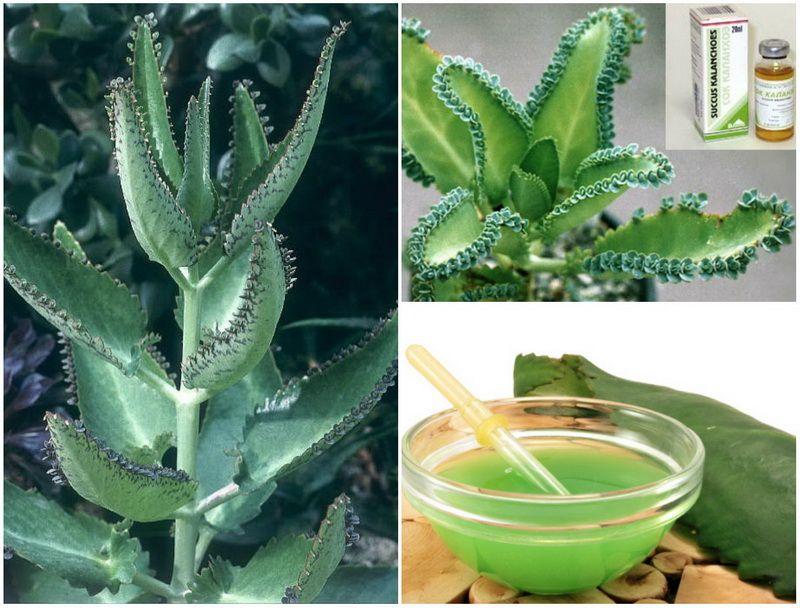 Растение Каланхоэ и его сок из листьев - домашний целитель на уйму причин недугов.
