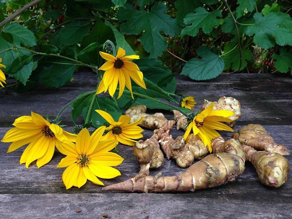 Топинамбур - вкусный и полезный продукт, широко используется как в кулинарии, так и в косметологии и народной медицине