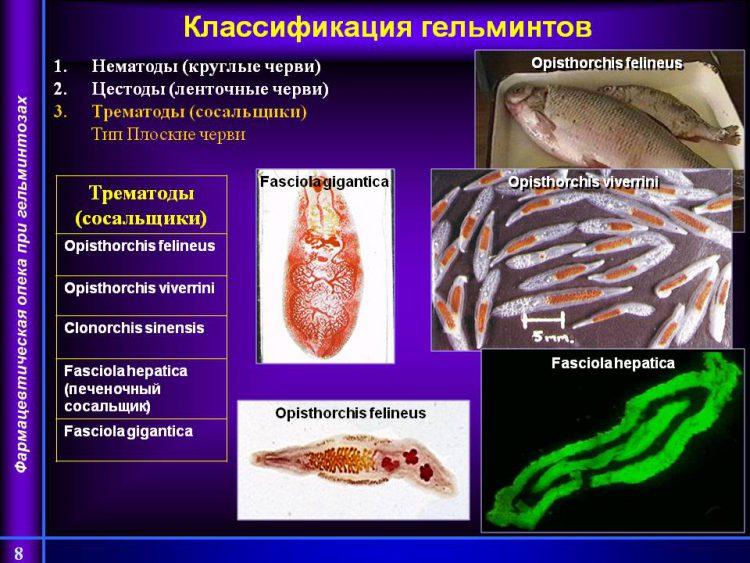 На фото слайде показана классификация гельминтов. Нематоды (круглые черви) Цестоды (ленточные черви) Трематоды (сосальщики) Тип Плоские черви. Трематоды (сосальщики). Opisthorchis felineus. Opisthorchis viverrini. Clonorchis sinensis. Fasciola hepatica (печеночный сосальщик). Fasciola gigantica.
