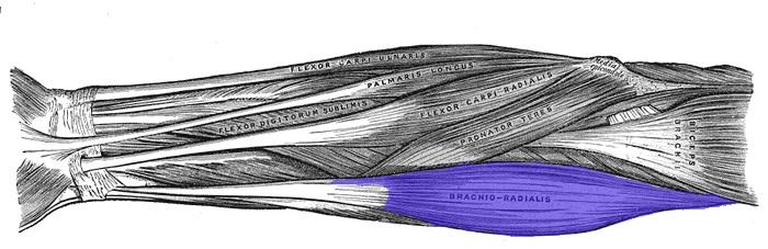 Брахиорадиалис