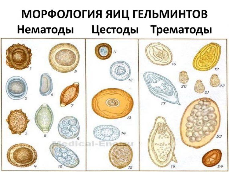 На фото показана морфология яиц гельминтов: Нематоды, Цестоды, Трематоды.