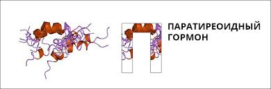 На фото показано как выглядит паратиреоидный гормон (ПТГ).