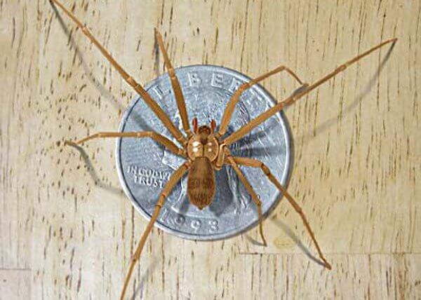 Коричневый паук-Затворник (Loxosceles reclusa)