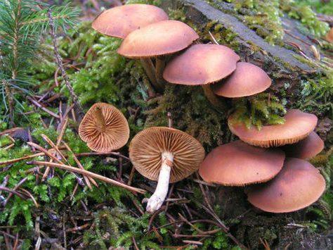 Токсичный и ядовитый гриб Галерина окаймлённая (Galerina marginata). Иногда ошибочно принимают за галлюциногенные грибы, осенние грибы ядовиты и могут быть смертельными, если их съесть.
