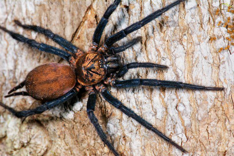 Воронковые тарантулы