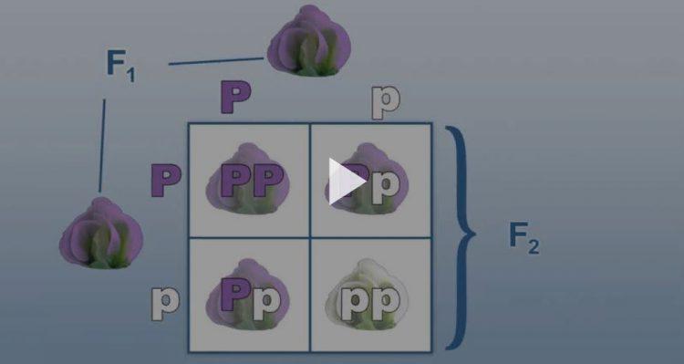 Punnett square; классическая генетика это фото использует квадрат Punnett, чтобы проиллюстрировать, как Грегор Мендель определил способ наследования черт. Encyclopædia Britannica, Inc.