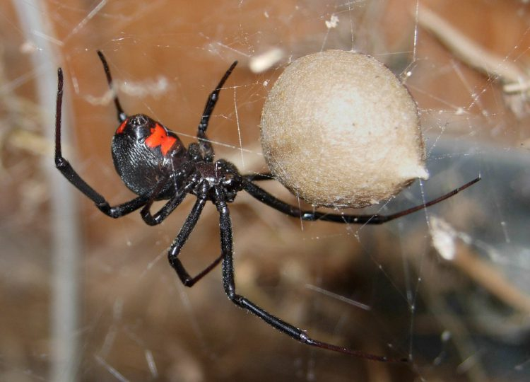 Черная вдова паук (Latrodectus mactans).
