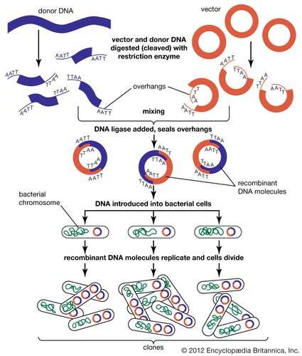 Этапы, участвующие в создании рекомбинантной молекулы ДНК. Encyclopædia Britannica, Inc.