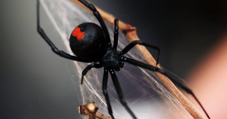 Самка паука черная вдова съедает самца, после спаривания, за что и получила своё прозвище.