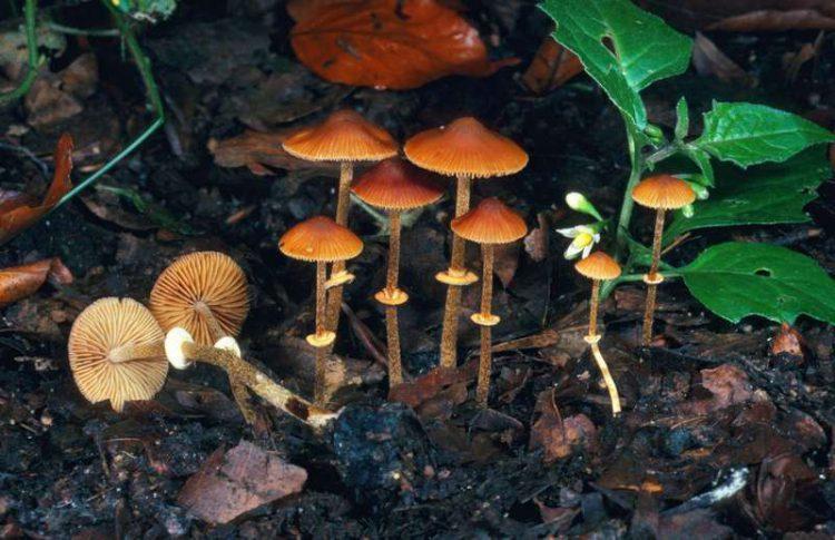 Ядовитые грибы Коноцибе филарис (Conocybe filaris). Этот вид является распространенным газонным грибом в Тихоокеанском Северо Западном регионе Соединенных Штатов. Прием внутрь может привести к летальной органной недостаточности.