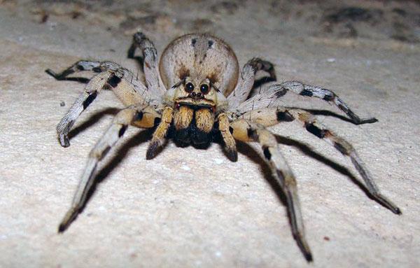 Волк-паук (семейство Lycosidae)