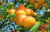 apricots – benefit and harm to the human body