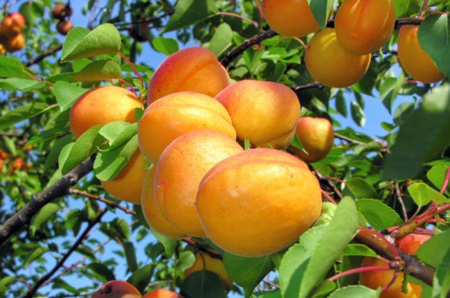 Абрикос отлично избавляет от чувства голода, содержит огромное количество витаминов, микроэлементов, является любимым лакомством детей и взрослых