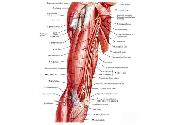 Расположение плечевой артерии